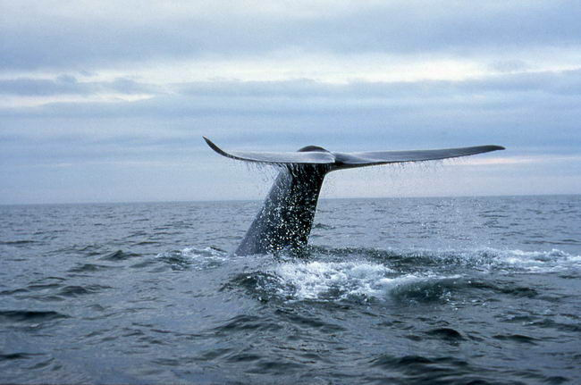 blue whale facts - HD 3139×2081